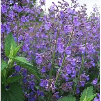 50 semillas orgánicas de...